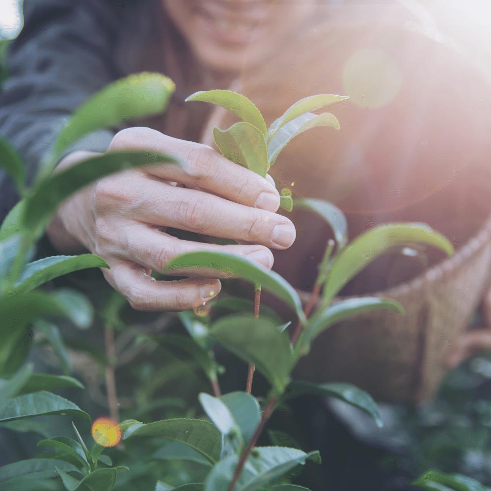 stage cueillette plantes medicinales mercantour